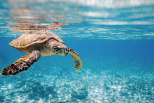 Tortue marine aux Seychelles